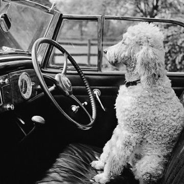 "BLANK CARD ""POODLE IN DRIVERS SEAT"" LARGE SQUARE SIZE 6.25"" x 6.25"" EHSI 0003"